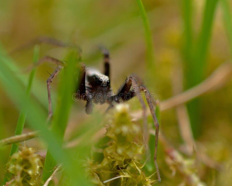 Araignée de loup, lugubris de Pardosa de Lycosidae photo libre de droits