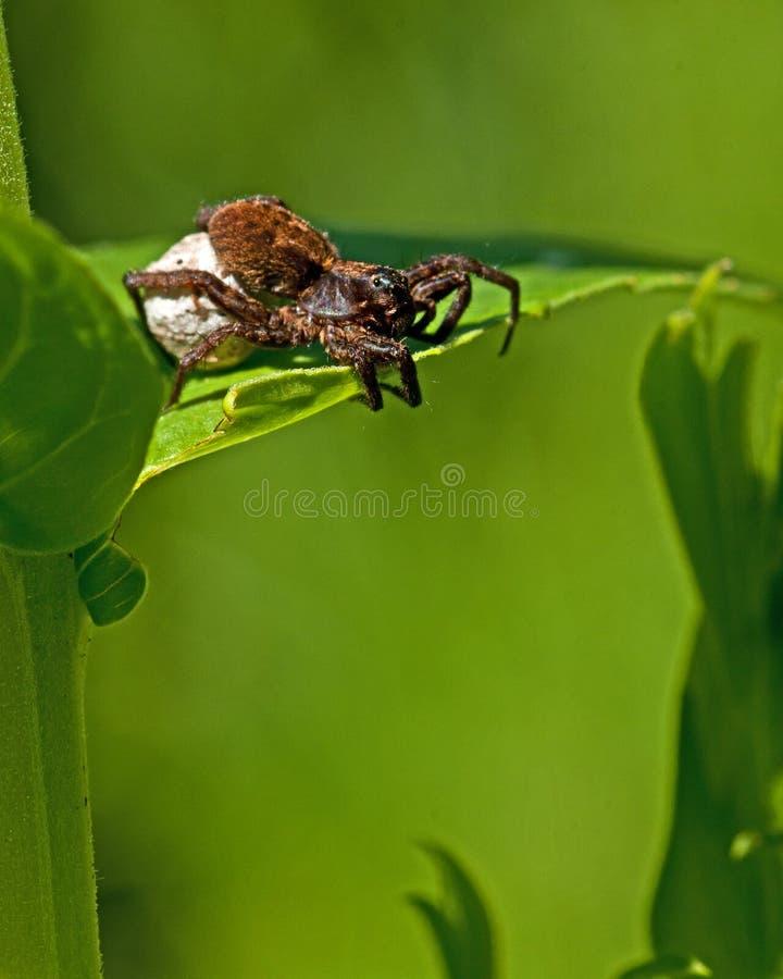 Araignée de loup, pulverulenta d'Alopecosa photo stock