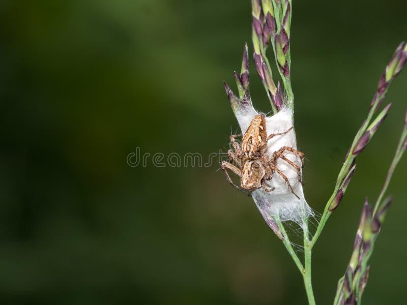 Araignée de Lynx, avec le nid, oeufs Oxyopes images libres de droits