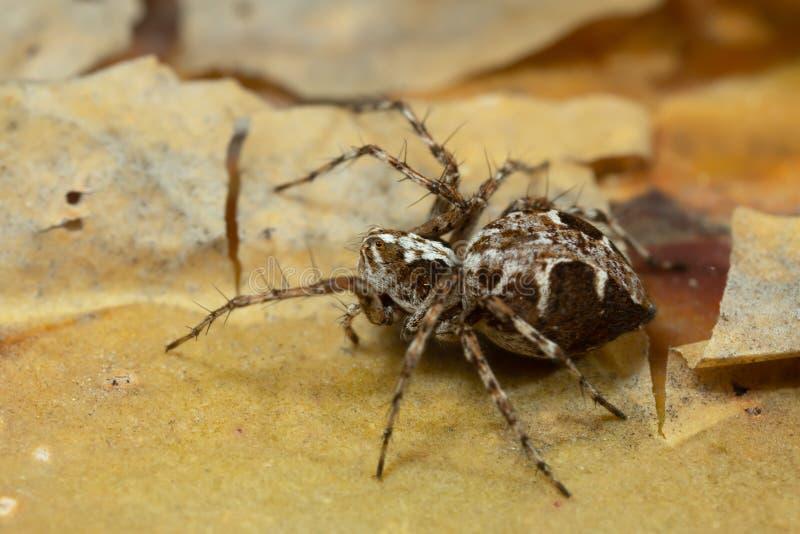Araign?e de Lynx, ramosus d'Oxyopes sur l'?corce de pin photo stock