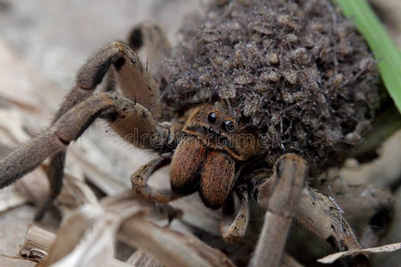 Araignée de mère qui porte des bébés d'araignées dans son corps photos libres de droits