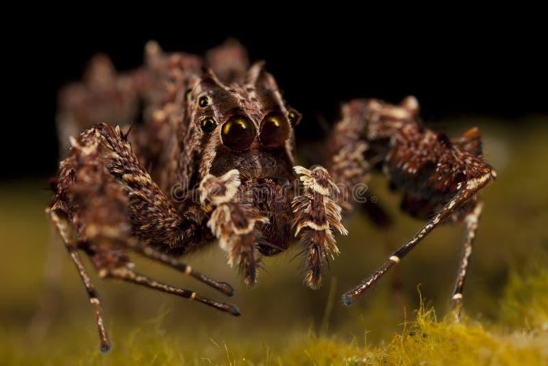Araignée de Portia - l'araignée la plus intelligente au monde photos libres de droits