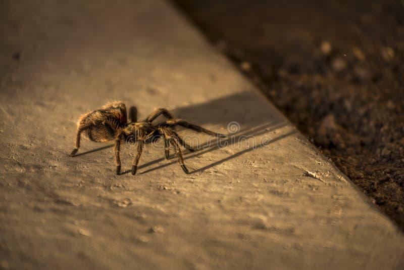 Araignée de Rose Tarantula de Chilien, Chili photo libre de droits