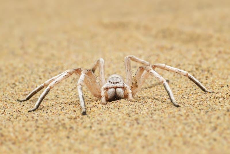 Araignée de roue - aureoflava de Carparachne images stock