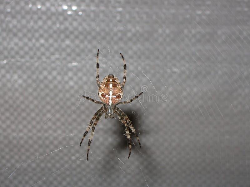 Araignée de Scarry tissant le Web photographie stock