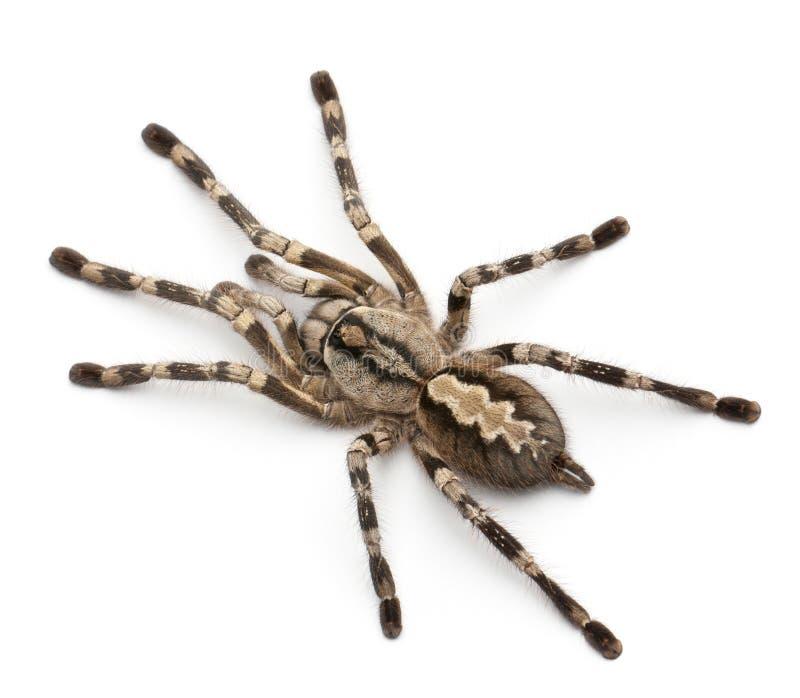 Araignée de Tarantula, Poecilotheria Fasciata photo stock