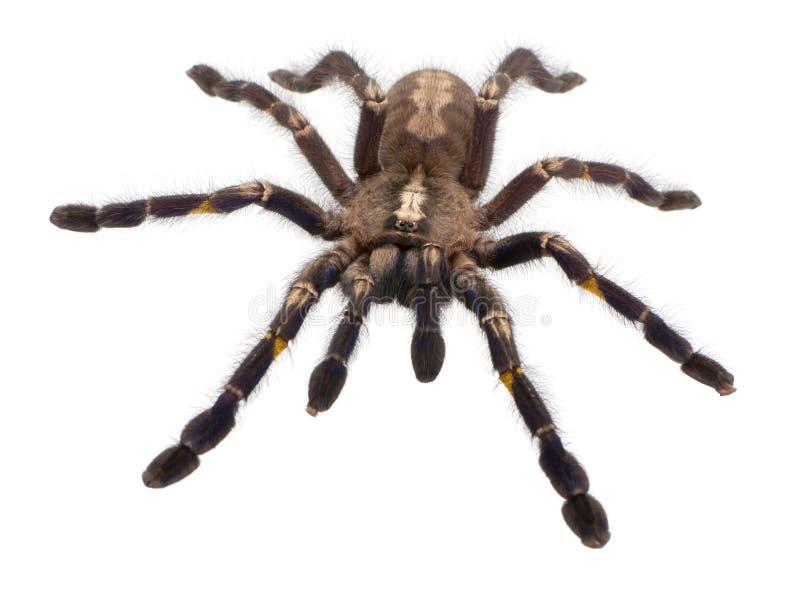 Araignée de Tarantula, Poecilotheria Metallica images libres de droits