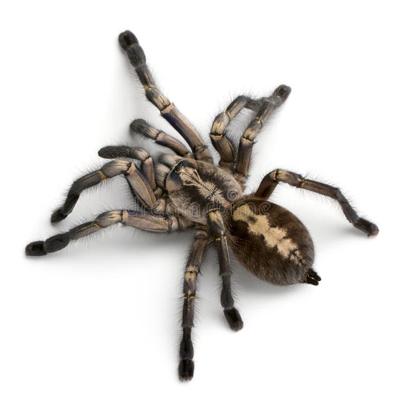 Araignée de Tarantula, Poecilotheria Metallica image libre de droits