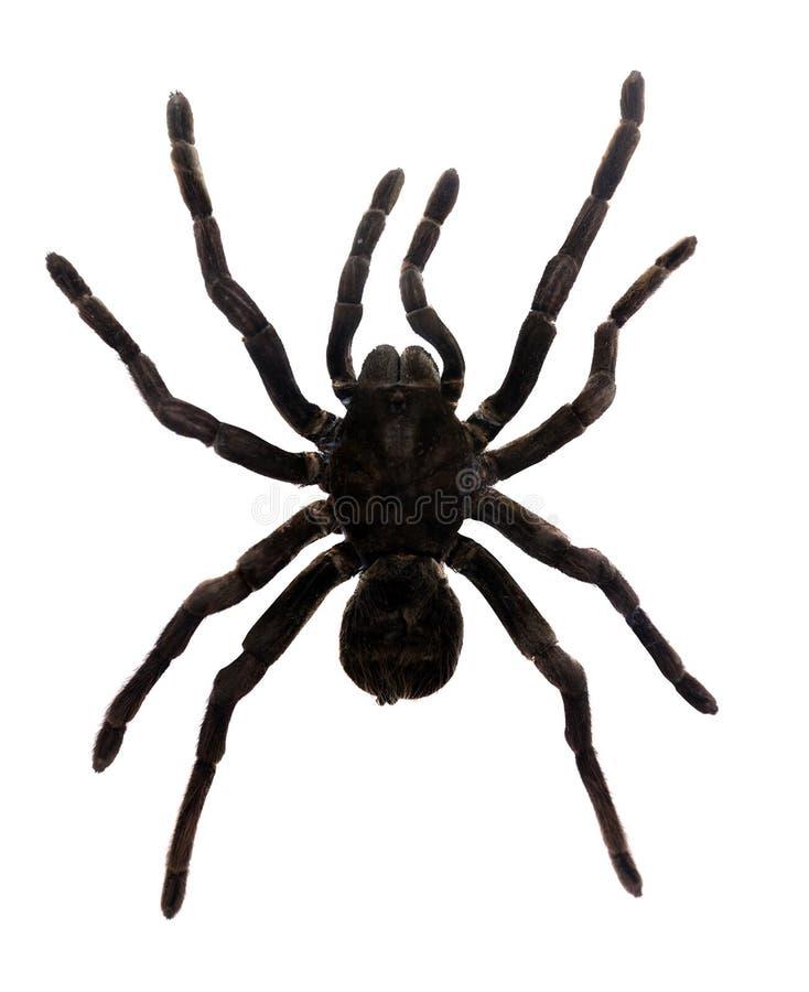 Araignée de tarentule image stock