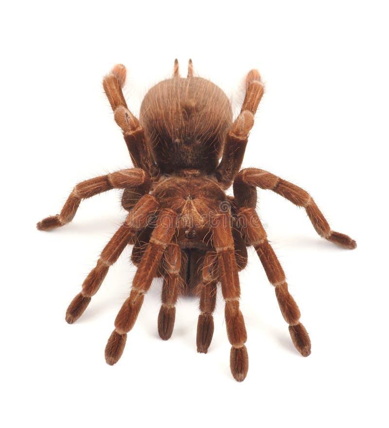 Araignée de tarentule, blondi femelle de Theraphosa image stock