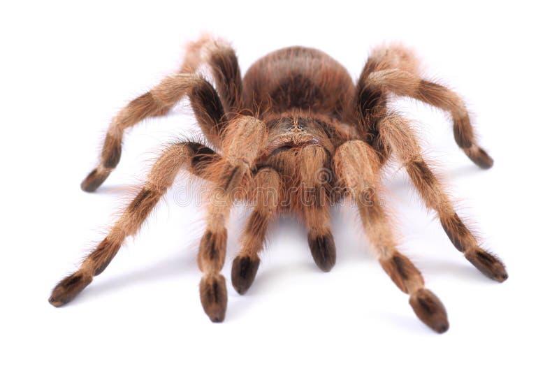 Araignée de tarentule, coloratovilosum femelle de Nhandu photos stock