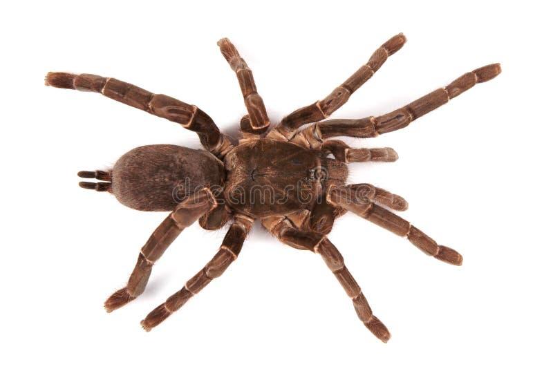Araignée de tarentule Hysterocrates Hercule sur un fond blanc image stock