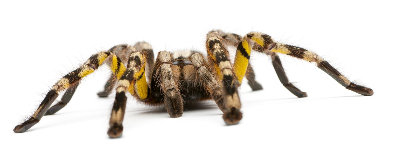 Araignée de tarentule, Poecilotheria Fasciata, devant le dos de blanc photographie stock