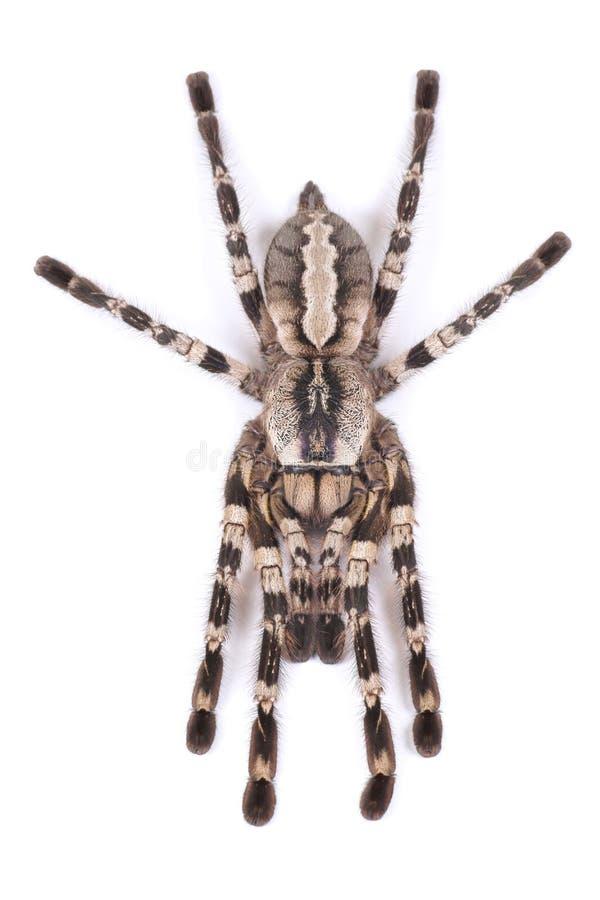 Araignée de tarentule, regalis femelles de Poecilotheria photo stock