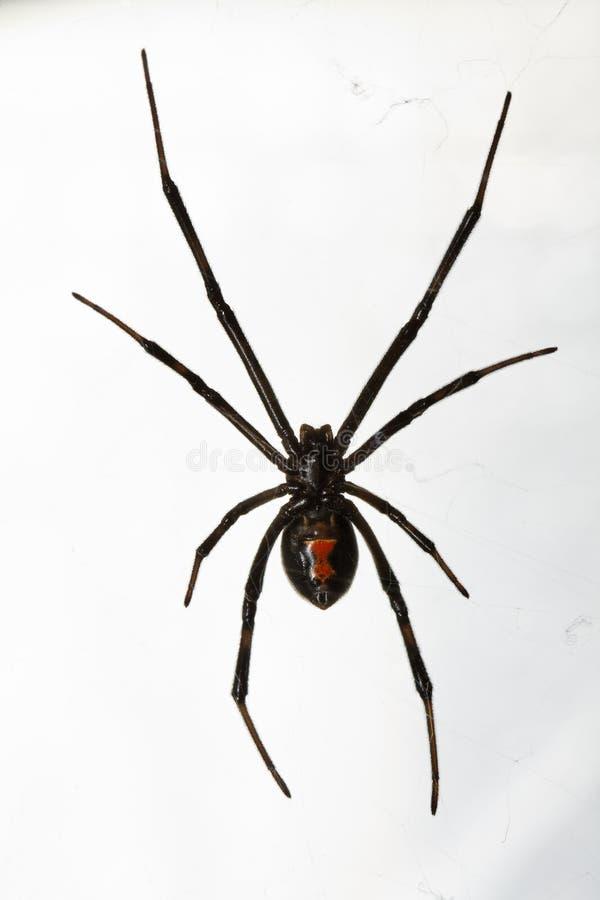 Araignée de veuve noire d'isolement au-dessus du fond blanc photos libres de droits