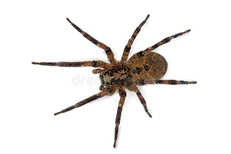 Araignée de Zoropsis photo libre de droits