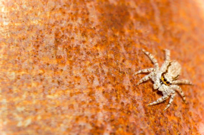 Araignée domestique de maison photo stock