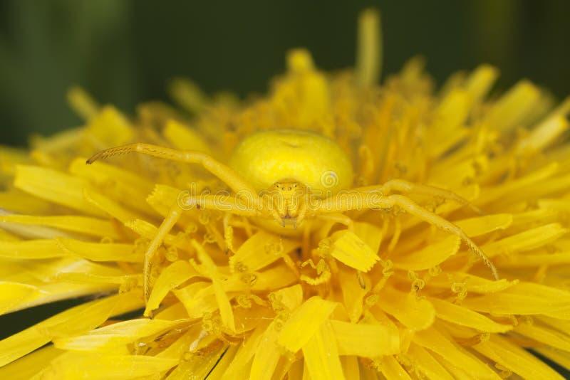 Araignée dorée de crabe sur le pissenlit photo libre de droits