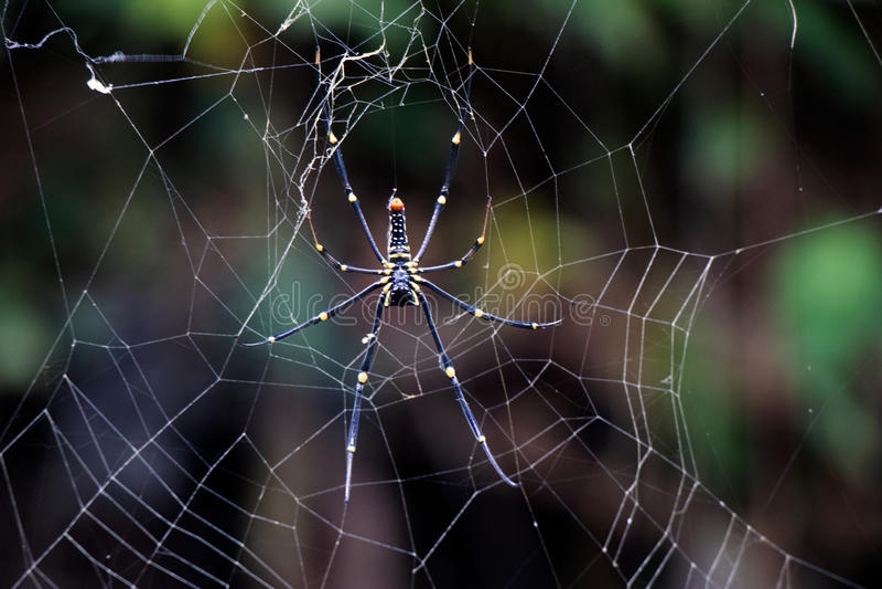 Araignée en bois géante Nephila Pilipes photos libres de droits