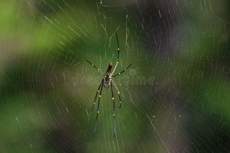 Araignée en bois géante sur le Web photos libres de droits