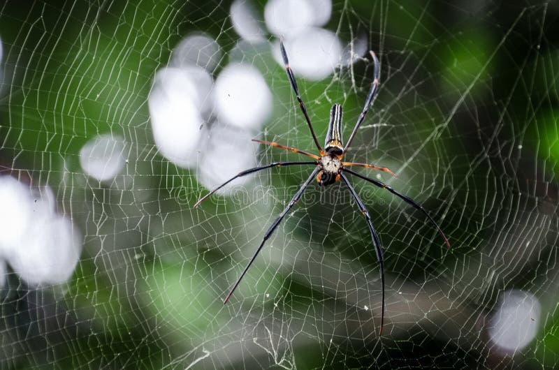 Araignée en vallée de Danum photo libre de droits