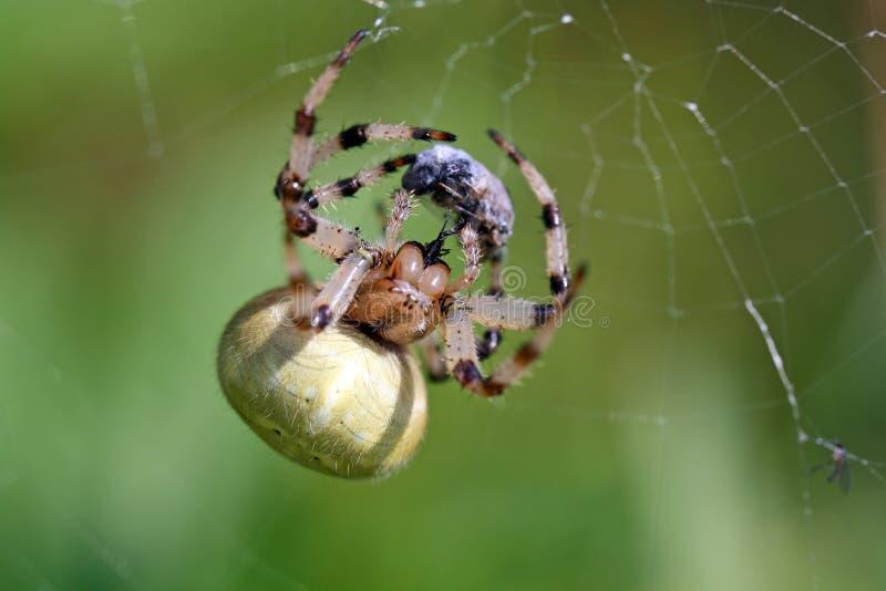 Araignée enveloppant sa proie, rattrapant une mouche en Web, fin image stock