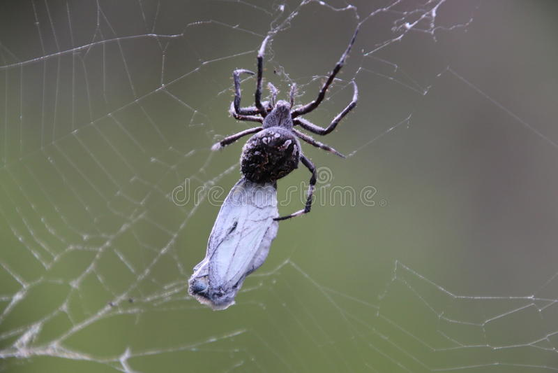 Araignée enveloppant un papillon photo stock