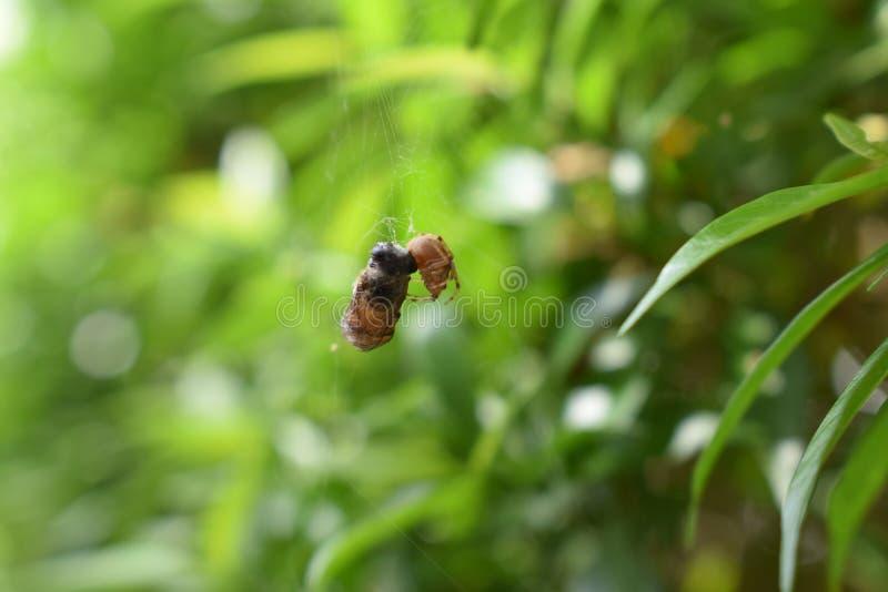 Araignée et abeille photo libre de droits