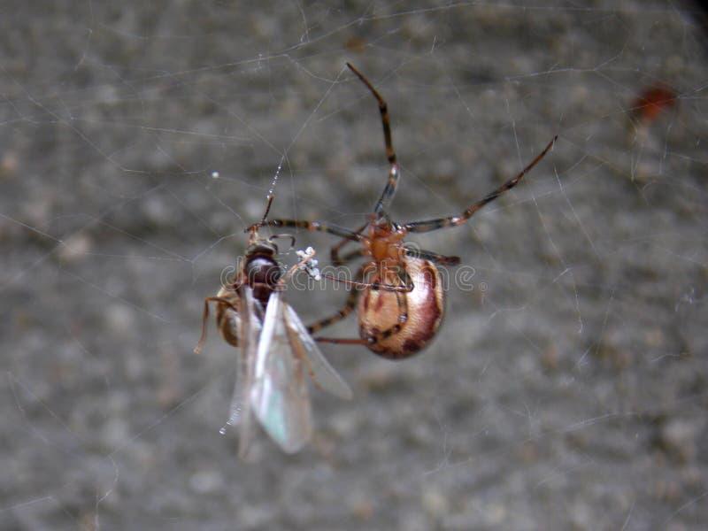 Araignée et proie image stock
