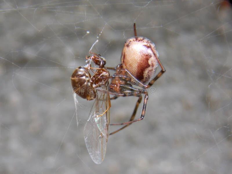 Araignée et proie photo stock