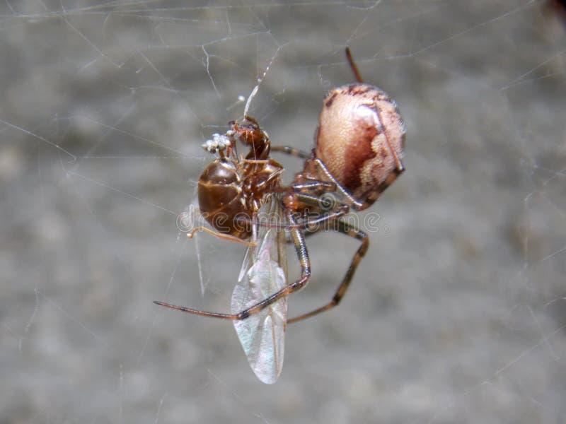 Araignée et proie photographie stock libre de droits