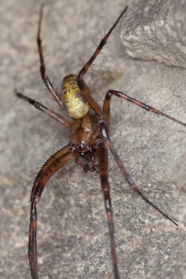Araignée européenne de caverne (menardi de méta) photo stock