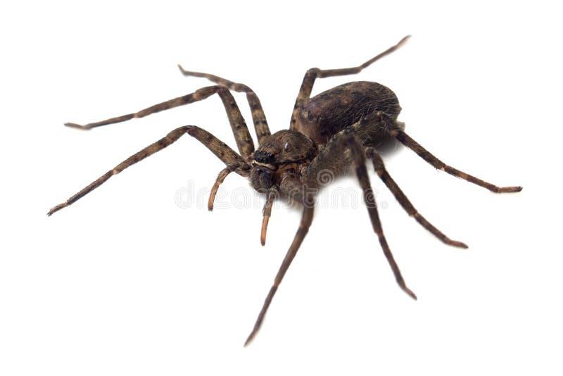 Araignée géante d'isolement sur un fond blanc image stock