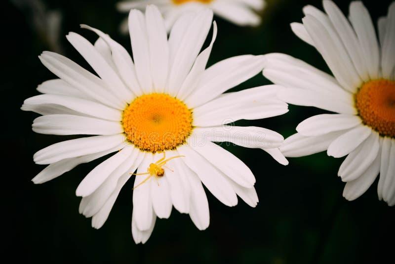 Araignée jaune sur une fleur de marguerite photographie stock libre de droits