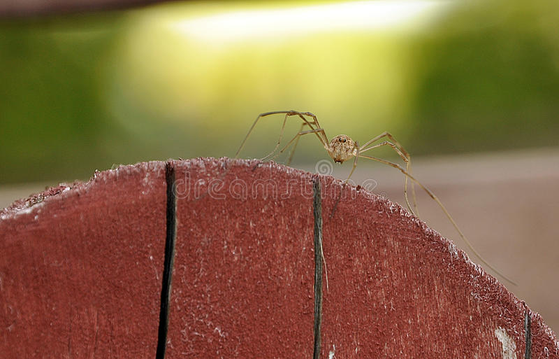 Araignée Long-legged photographie stock