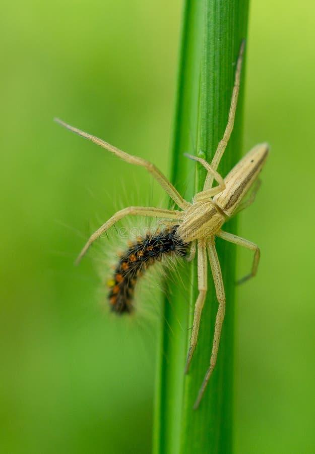 Araignée mangeant une chenille images stock