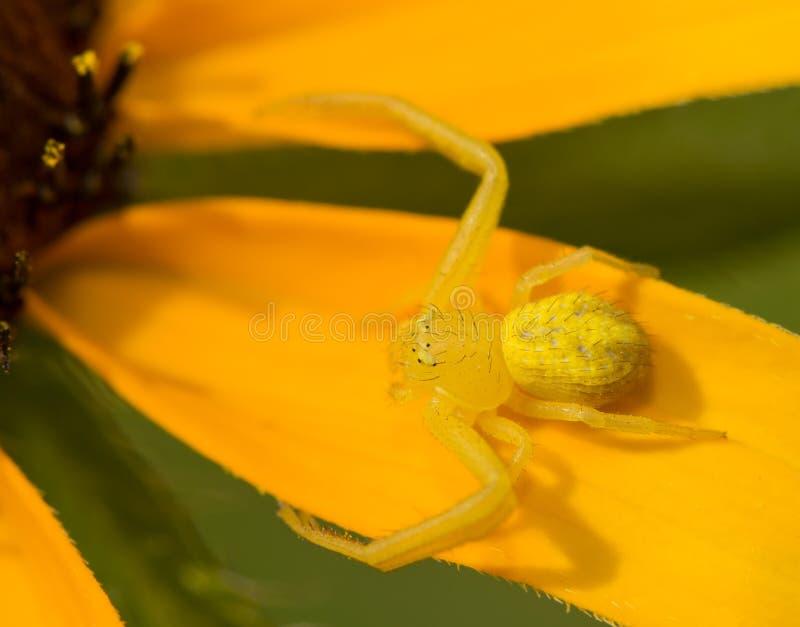 Araignée minuscule de crabe dans le genre Mecaphesa photos libres de droits