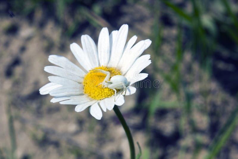 Araignée Misumena de crabe de fleur blanche image stock