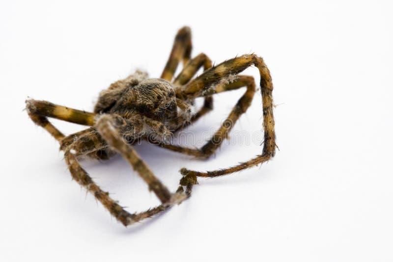 Araignée morte photographie stock libre de droits
