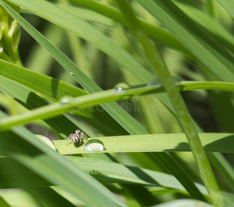 Araignée noire et blanche minuscule de zèbre photos stock