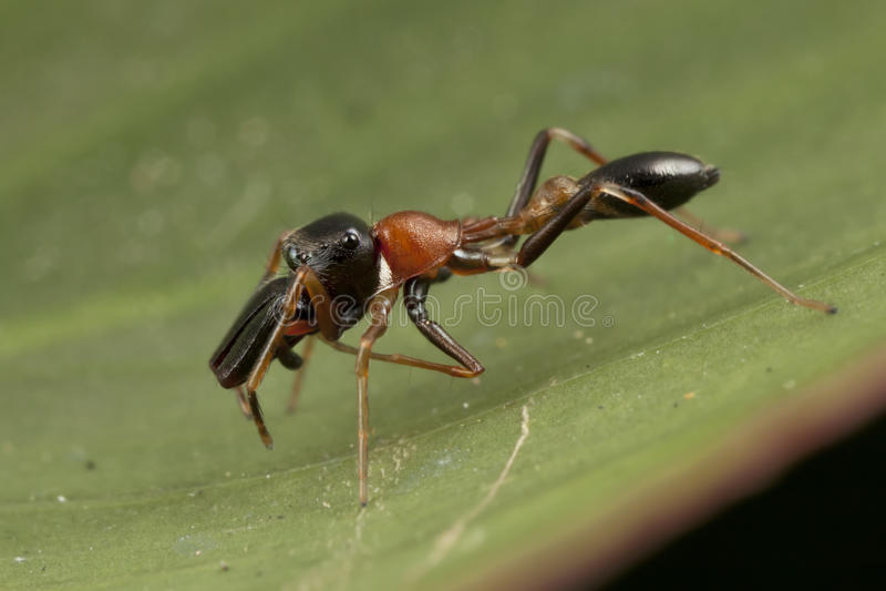 Araignée noire et orange d'imitateur de fourmi photographie stock libre de droits