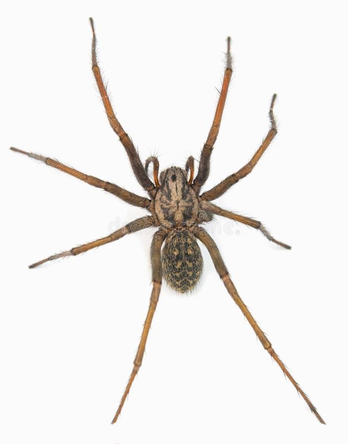 Araignée prédatrice photo stock