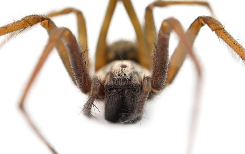 Araignée prédatrice photos stock