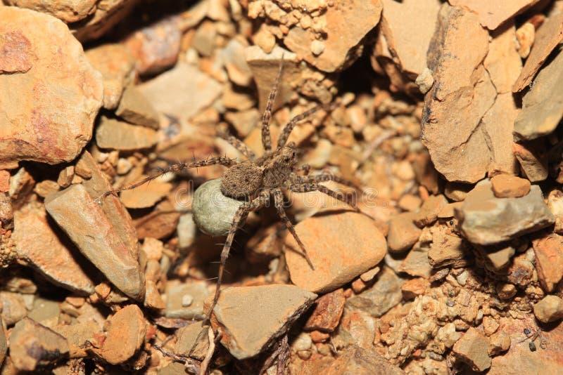 Araignée (radiata de Hogna) photos libres de droits
