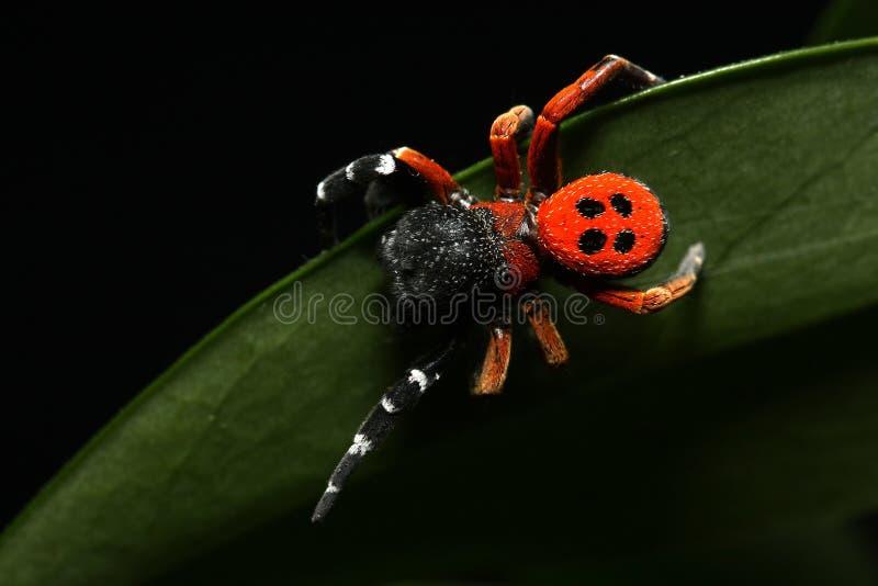 Araignée rouge d'oiseau de dame photo libre de droits
