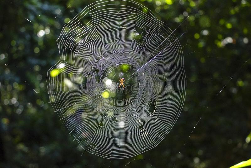 araignée Rouge-et-jaune de taureau s'étendant dans les forêts tropicales du bassin du fleuve Amazone en Amérique du Sud photo libre de droits