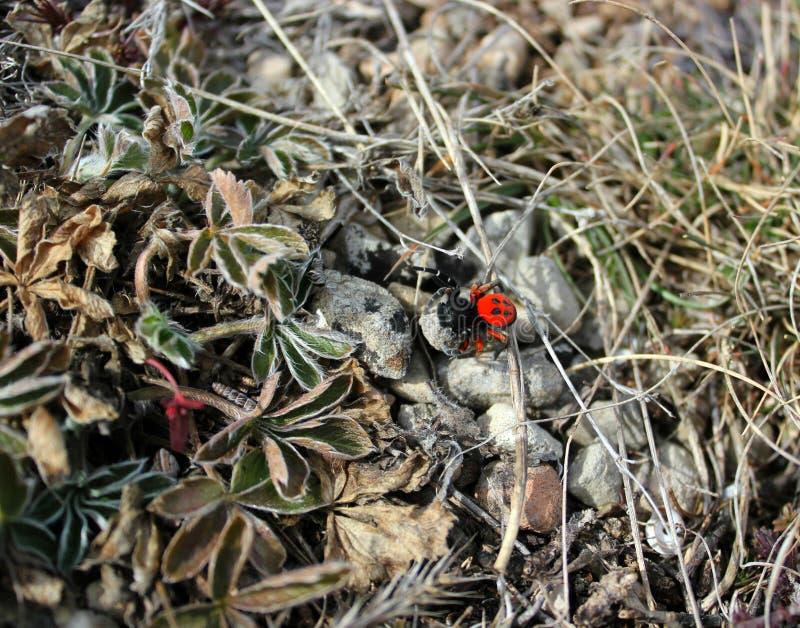 Araignée rouge sur l'herbe image stock