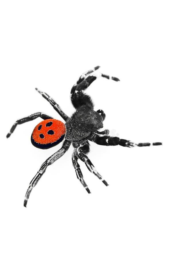 araignée s'élevante de coccinelle photographie stock
