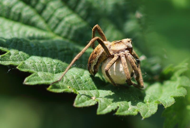 Araignée s'occupant de ses oeufs images stock