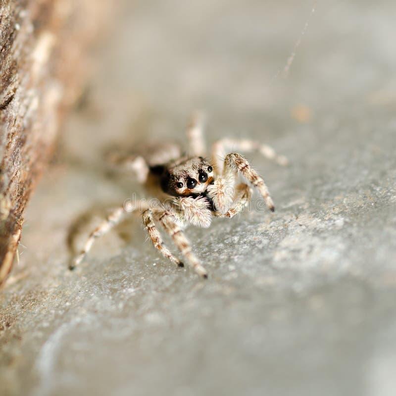 Araignée sautante. photographie stock
